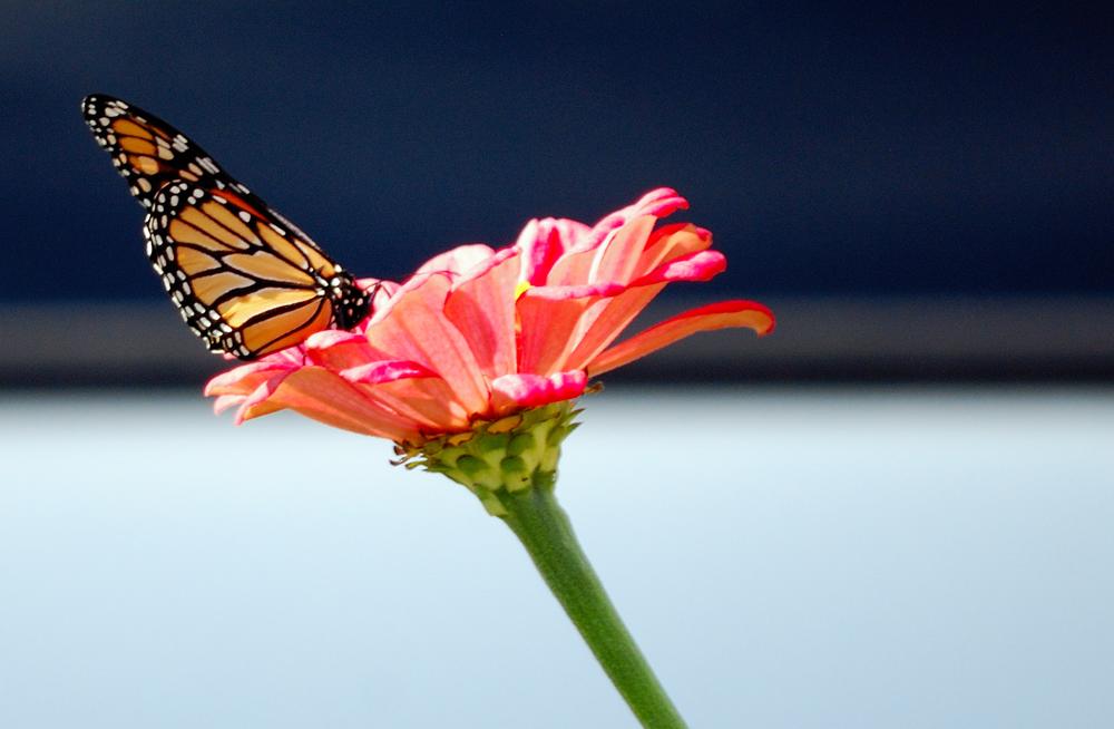 Autumn Butterfly ~ Suisun Valley, CA