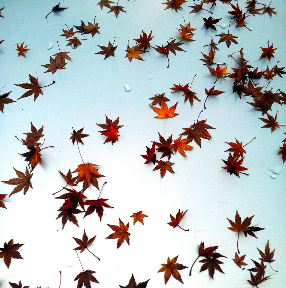 Fall Leaves on Hood of a Car ~ Santa Rosa, CA