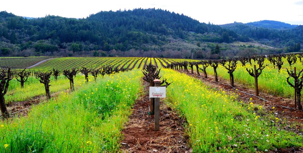 Winter Zinfandel ~ Mounts Vineyard – Dry Creek Valley, CA