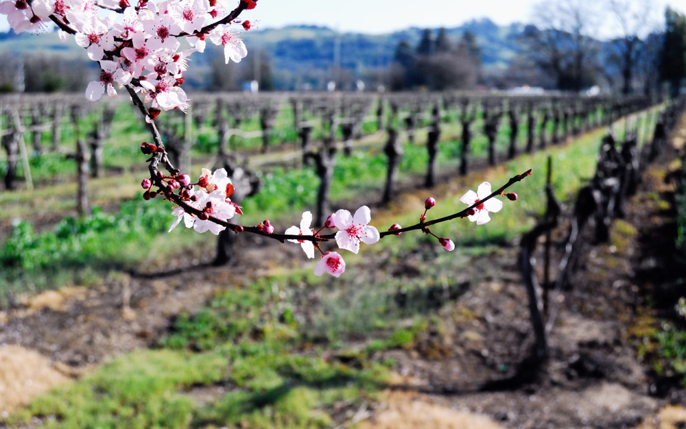 Spring in the Vineyards ~ Russian River Valley, CA