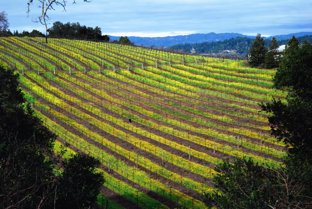 Spring Mustard in the Vineyard ~ Dry Creek Valley, CA