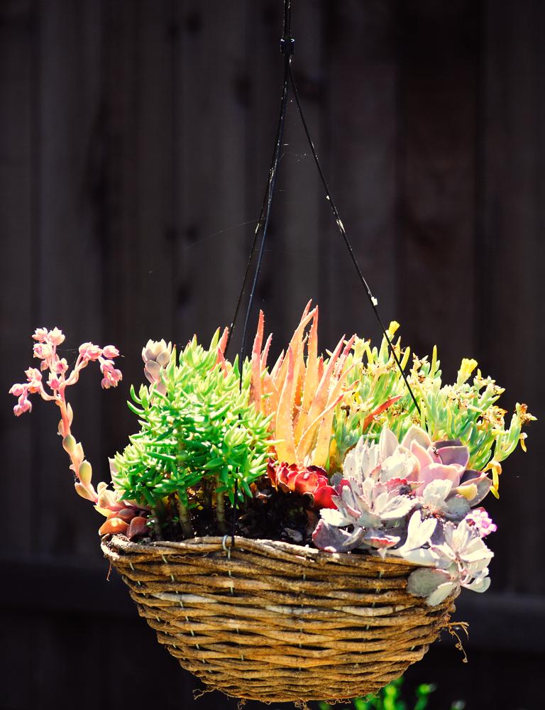 Garden Series 8 – Hanging Cactus ~ Sonoma County, CA