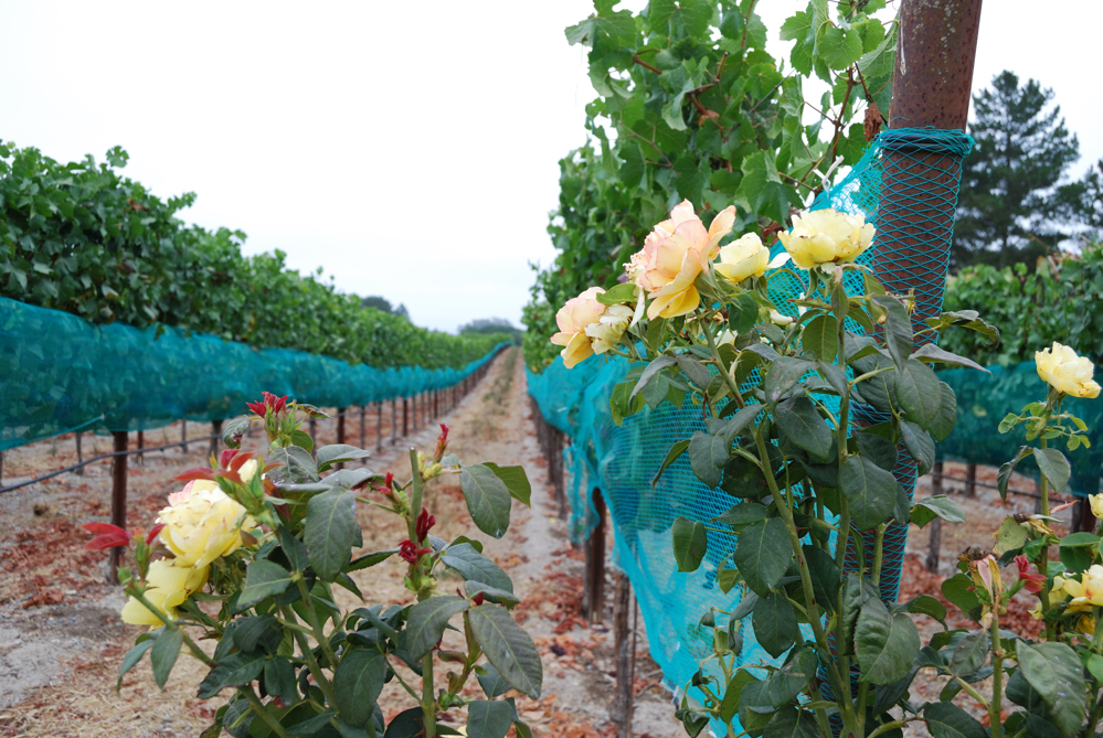 Pinot Noir in Nets ~ Russian River Valley, CA