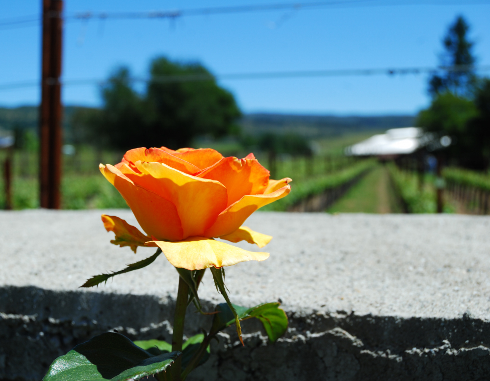 Rose by a Fence ~ St. Helena, California