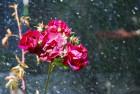 Wet Roses ~ Windsor, California