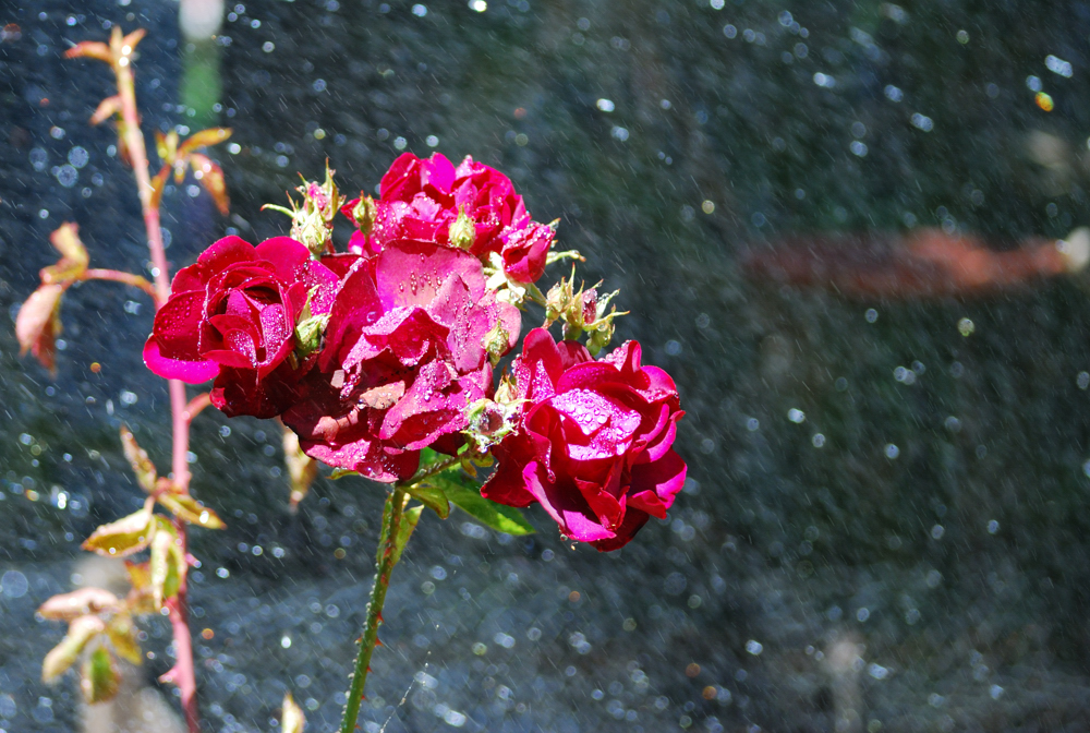 Wet Roses ~ Windsor, California