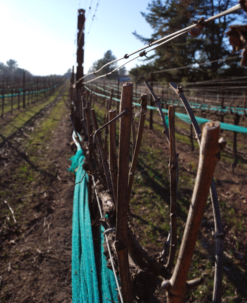 Pre-Pruning ~ Russian River Valley, California