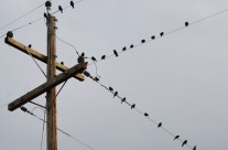High Voltage Birds