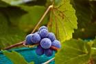 Raindrop Grapes