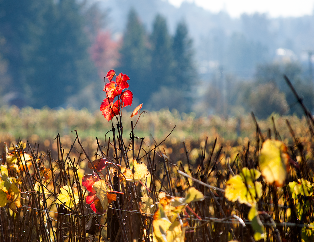 Impending Winter in The Vineyard