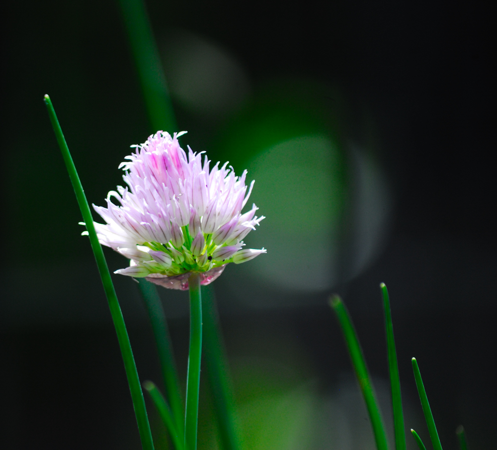 Garden Series 5 – Chives ~ Sonoma County, CA