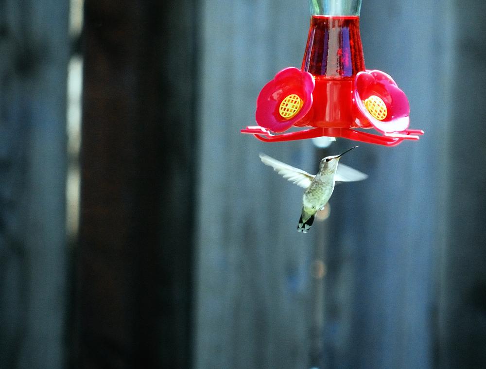 Hummingbird ~ Sonoma County, CA