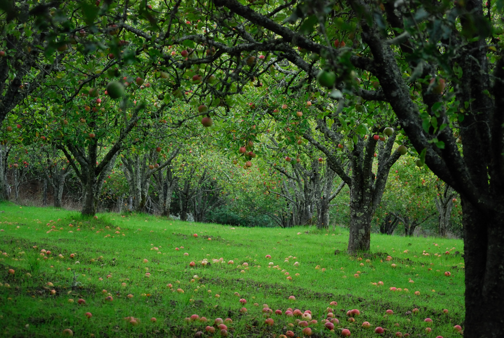 Apple Orchard in the Fall ~ Petaluma,CA